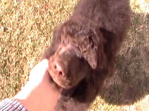 Brown/Chocolate Standard Poodle Puppies