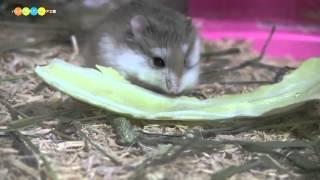 キャベツを食べるロボロフスキーハムスターです。野菜にがっつくイメー...