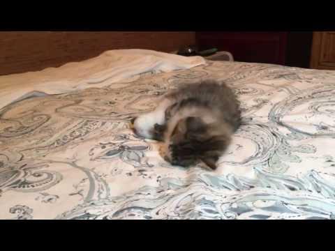 Norwegian Forest Cat Kitten playing