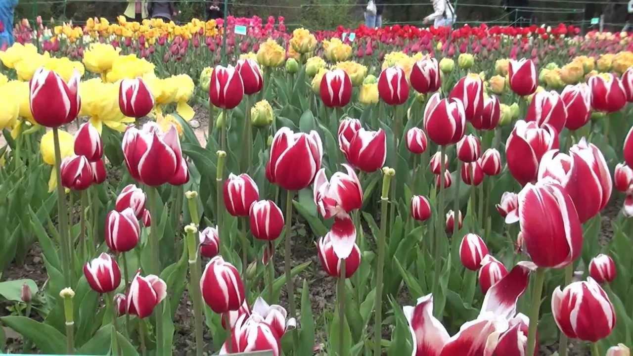 тюльпаны бахромчатые фото