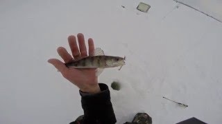 Ловля берша зимой на тюльку, видео rybachil.ru