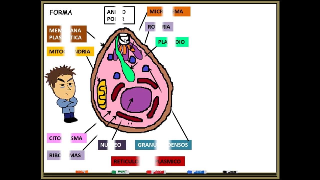 a malária plazmodium fejlődési ciklusának leírása