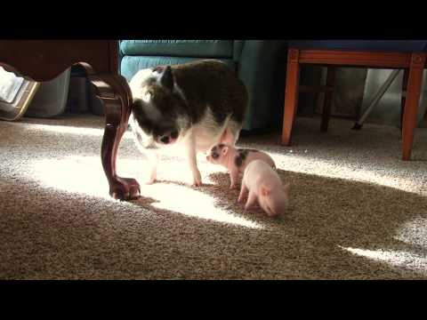 Micro Mini Pig Itching To Dance! Micro Mini Piglets For Sale.