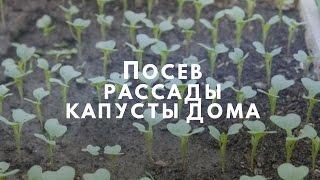 видео Как вырастить рассаду капусты в домашних условиях