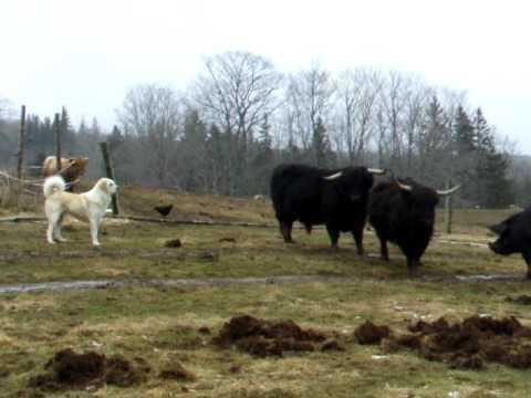 Old Man Farm - Permaculture Pigs Preparing Pasture (Dog as traffic cop)