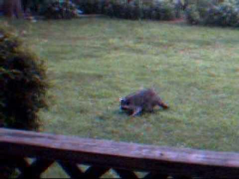 Ordinaire Thereu0027s A Raccoon In My Yard!