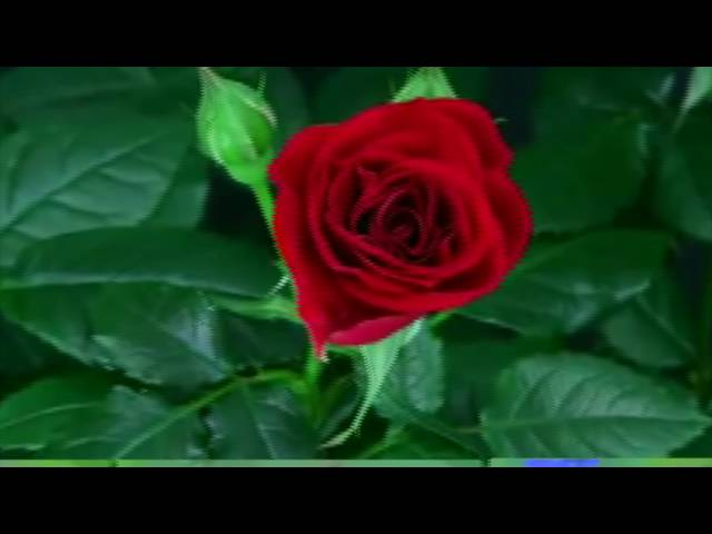 Изображение предпросмотра прочтения – «Мысовская сельская библиотека» читают произведение «Розы» И.А.Бунина