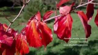 Parrotia persica 'Vanessa' video