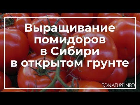 Выращивание помидоров в Сибири в открытом грунте | toNature.Info