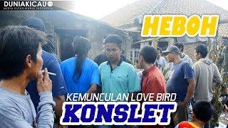 HEBOH!! Kehadiran Love Bird KONSLET, Gantangan Dipadati Penonton Untuk Melihatnya