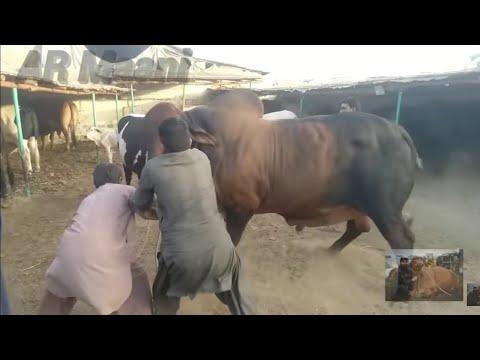 Belgian Blue & Brahman Bull Unloading || Samman Cattle Farm
