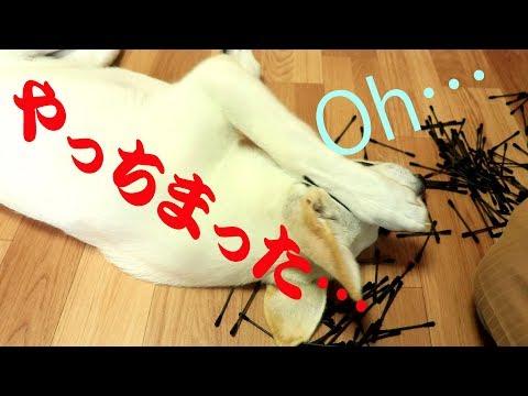 イタズラして怒られる白シェパード~Dog begin scollded for prank~