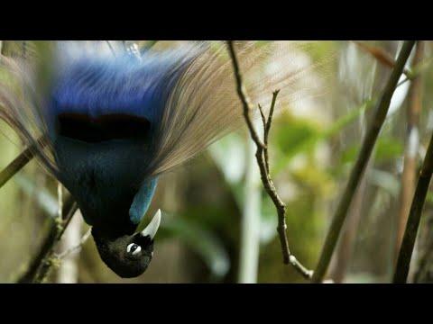 Blue Bird-of-Paradise  (Paradisornis Rudolphi)