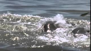 Умные Дельфины Афалины Ловят Рыбу HD