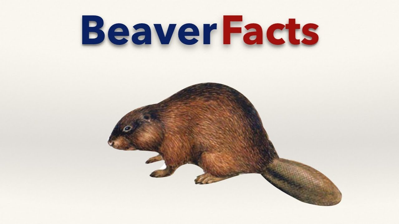 Beaver Facts - YouTube