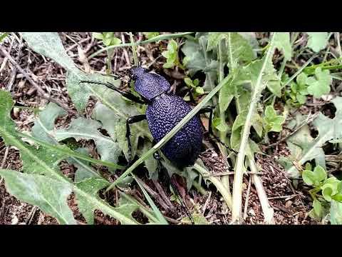 Крымская жужелица. Самый большой жук.