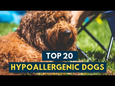 Hypoallergenic Dogs: 20 Family Dogs That Dont Shed