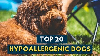Hypoallergenic Dogs: 20 Family Dogs That Don't Shed