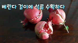 10월 베란다정원에 석류 수확하다