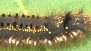 Лохматая, забавная гусеница в естественной среде обитания.(Лохматая, забавная гусеница в естественной среде обитания., 2013-12-03T11:12:24.000Z)