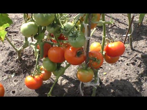 Посев безрассадных помидоров