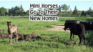 mini horses find a new home