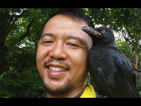 Melatih panggil Burung Gagak Gaok Jinak. My cute baby ravens