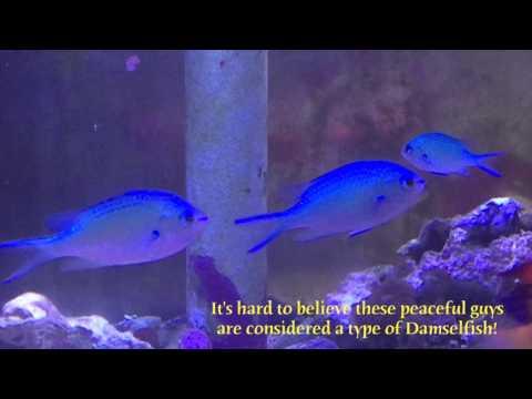 Species Spotlight Season 2 - The Blue Green Chromis - Episode 27