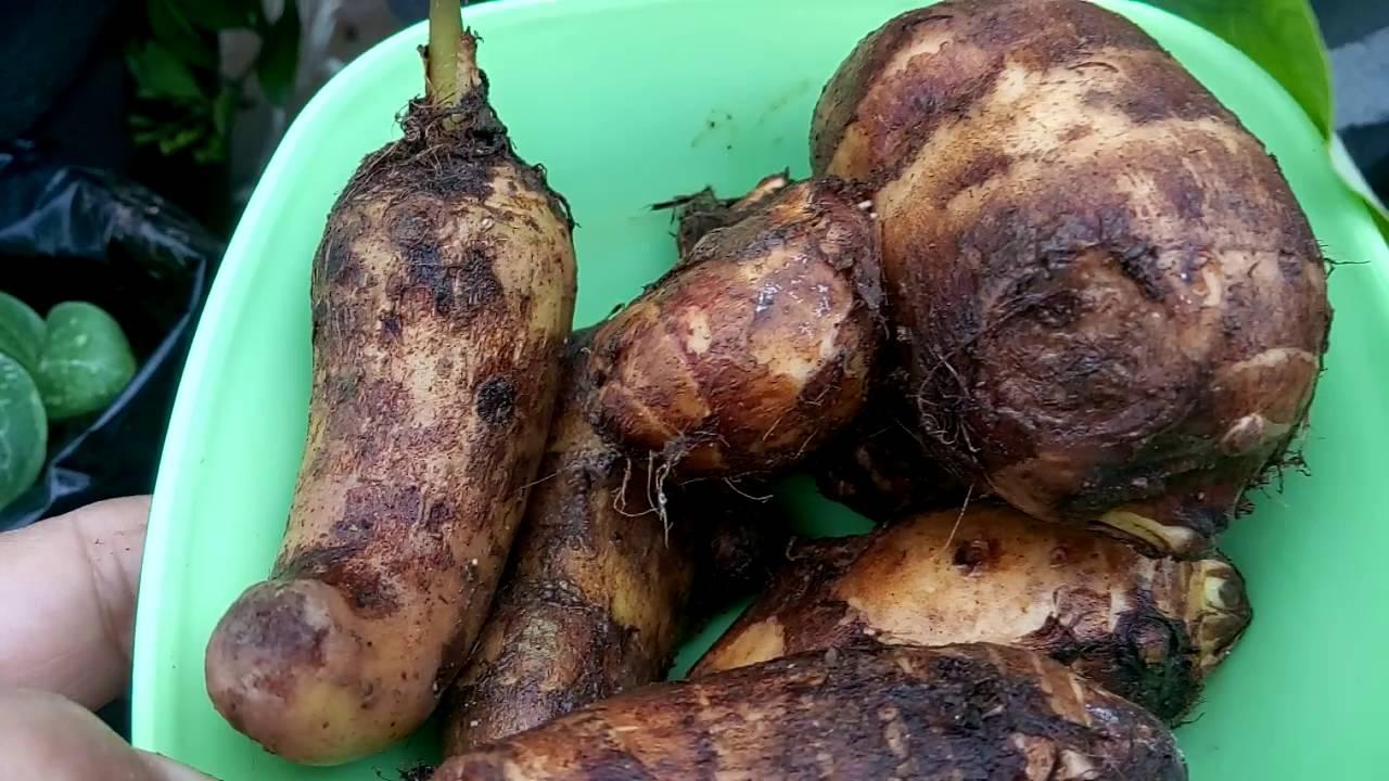 117- How to grow ARBI/Taro Root Plant - Tips (Hindi /Urdu ...
