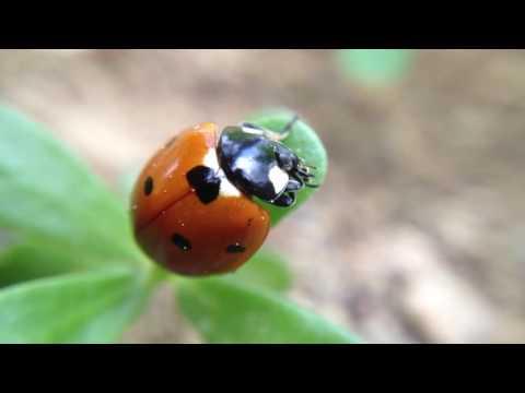 Ladybug is eating leaf