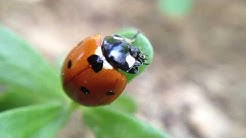 Ladybug is eating leaf