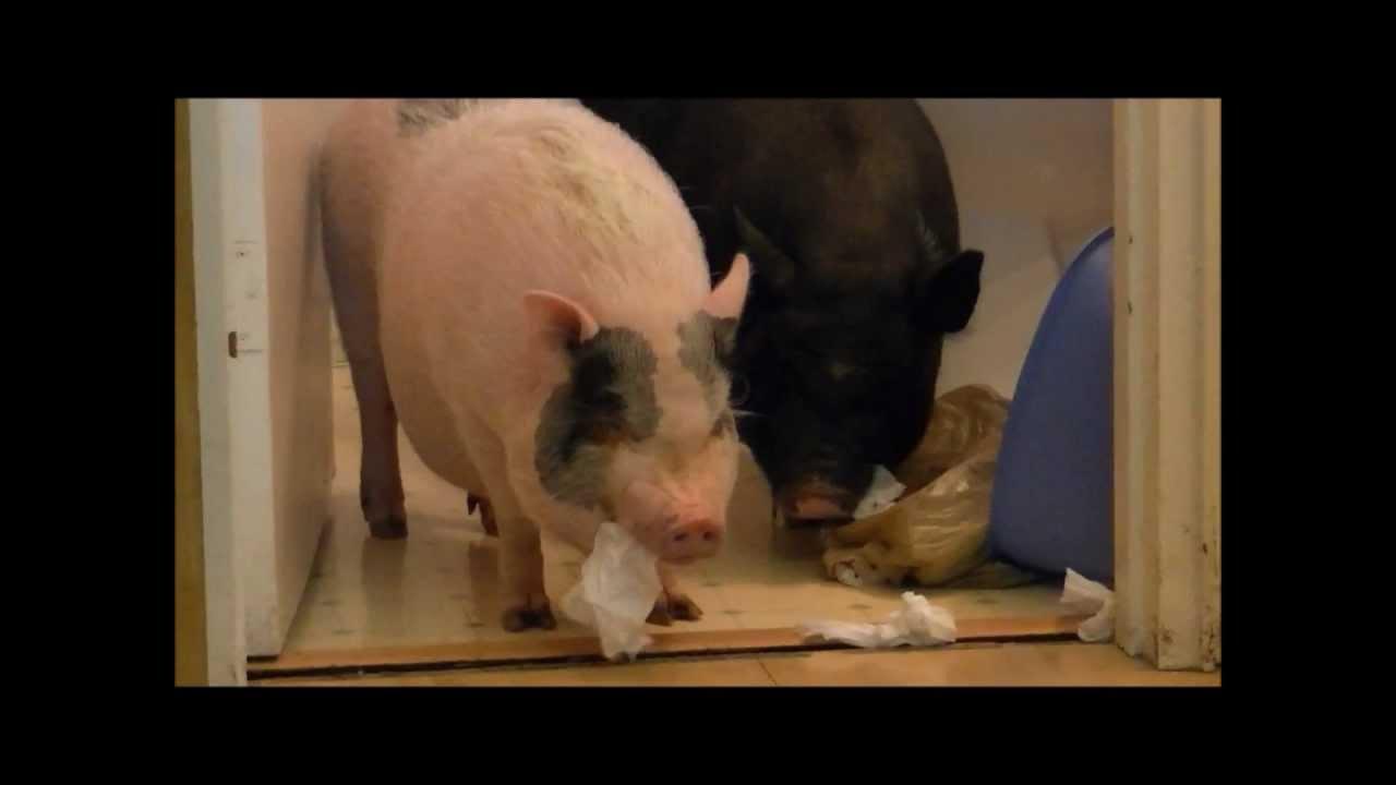 bad mini pigs destroy the bathroom prissy bomber show. Black Bedroom Furniture Sets. Home Design Ideas