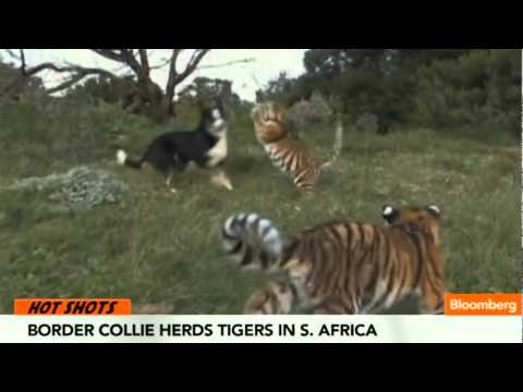 Border Collie Herds Tigers in South Africa