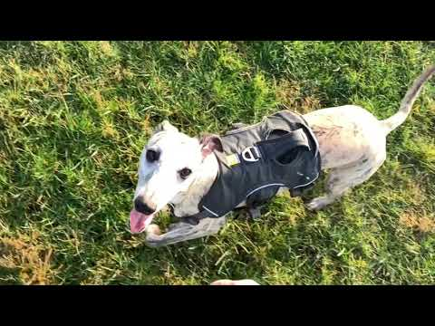 Living with a Whippet: Part 3 Recall Training