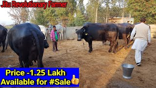👍FOR SALE: Murrah Buffaloes (Milk 16Kg) Price 1.25 Lakh @Maman Sir\'s Farm @Jhajjhar.👍