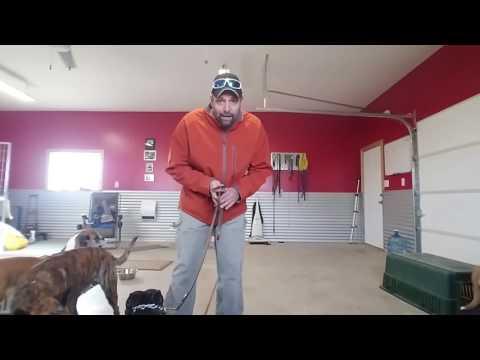 Pocket Pitbull working through leash reactivity