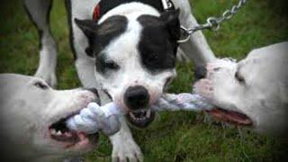 تدريب ثلاث كلاب بيتبول على العض  -  Training 3 Bittbull Dog
