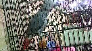 Parrot Speaking in Urdu