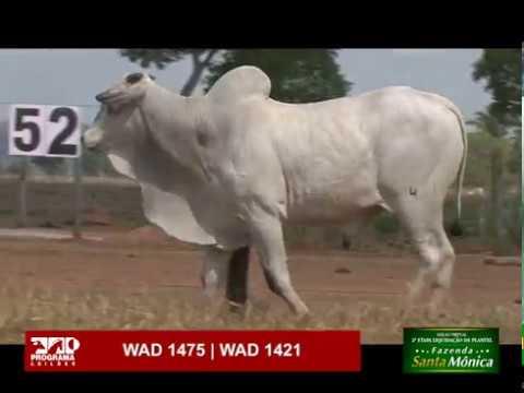 LOTE 52 - WAD 1475 | WAD 1421