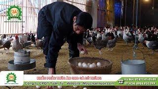 Khẩu phần thức ăn cho gà đẻ trứng   Kiến thức chăn nuôi gà