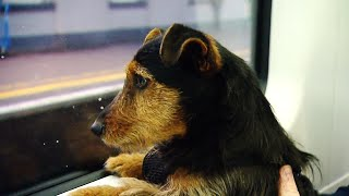 lost-dog-in-ireland-wanders-onto-dublin-bound-train
