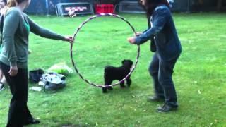 Dog Jumps Through Hula Hoop At Hoop O'clock!