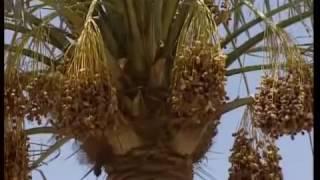 KHEJUR DATE FRUITS OF ARABIA DATE CULTIVATION