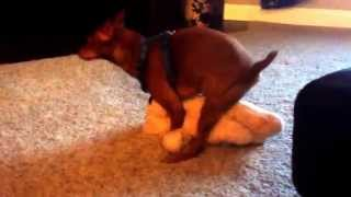 XXX Rated Dog, Lucy does Teddy, funny, and gross, confused dog humps Teddy bear