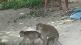 озабоченные обезьяны