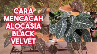 Mencacah Alocasia Black Velvet