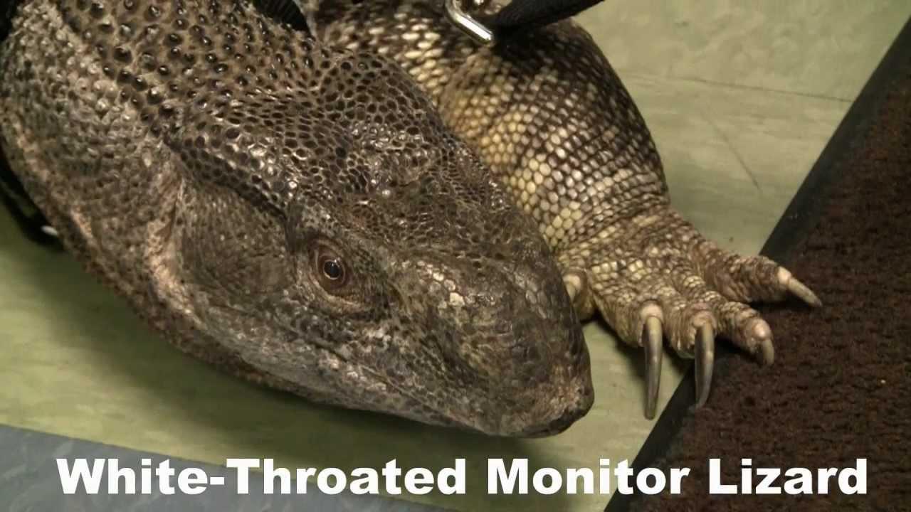 White-Throated Monitor Lizard: R.A.V.E. (Random Animal ...