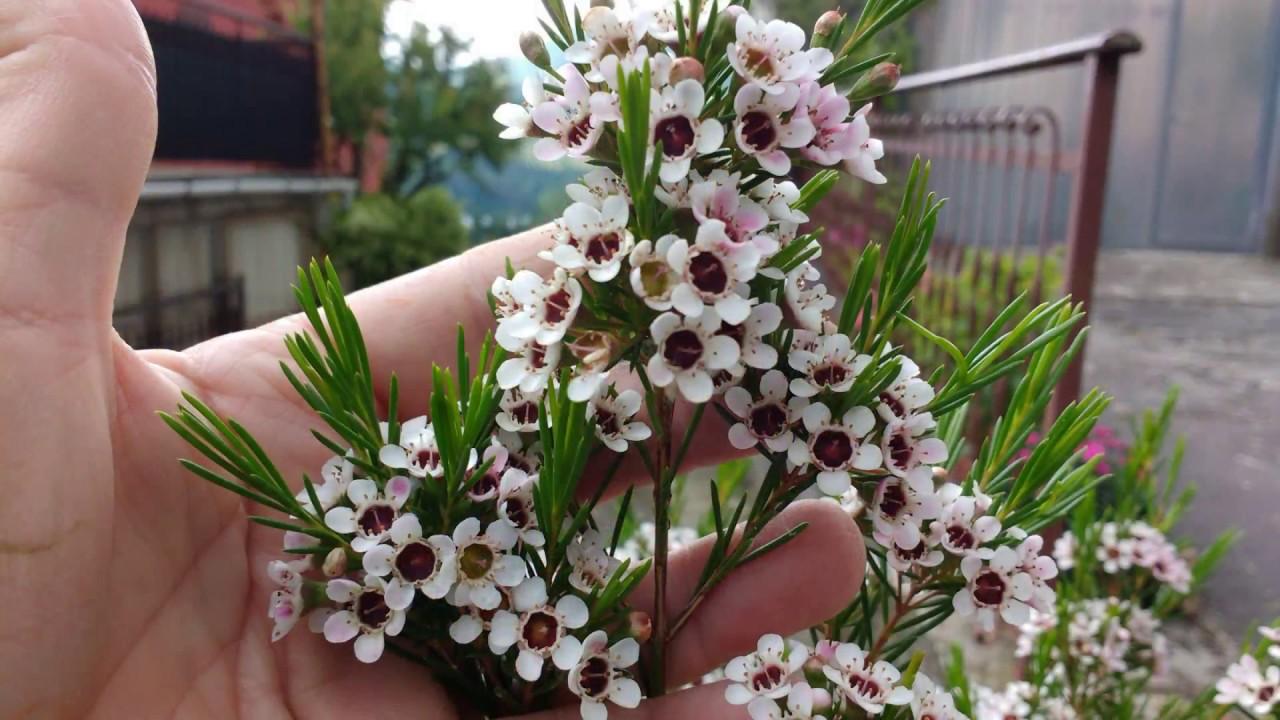 Chamelaucium uncinatum pianta di cera youtube for Pianta di cera