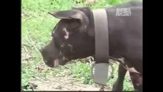 Pit Bulls - Brigas de cães