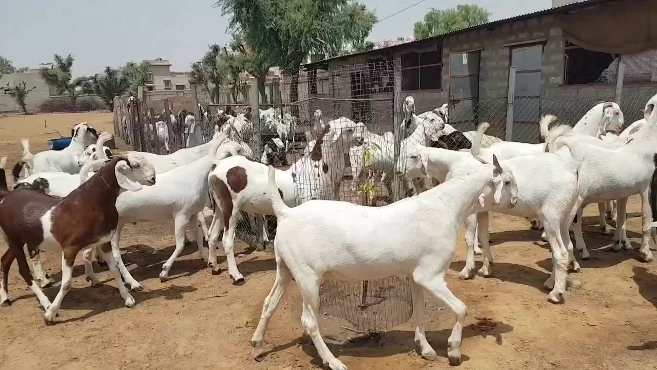 Altaf Goat Farm Goat Farming 2017 Youtube